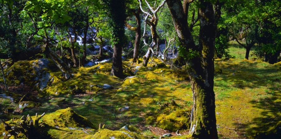 forest trees and mosses at killarney national park