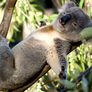 resting koala on a tree in a zoo dp